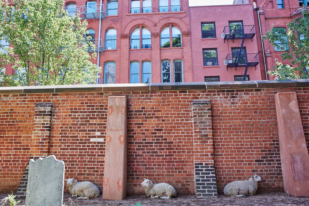 sheeps in nolita Sheeps of Nolita graze the grounds of the st patricks cathedral